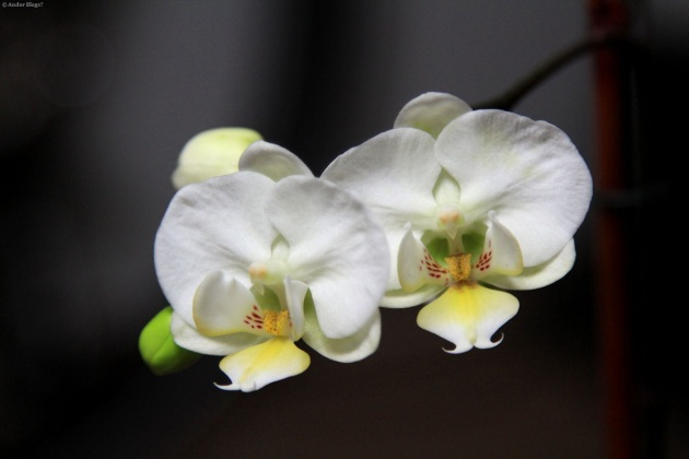 Orchids © Andor (3)