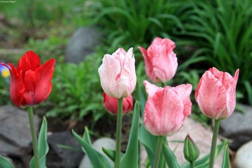 Tulips © Andor (2)