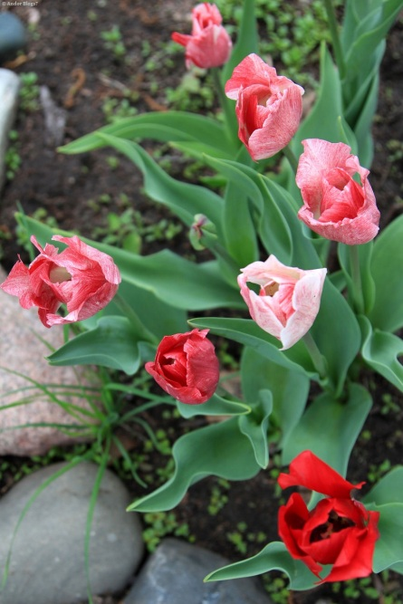 Tulips © Andor (5)