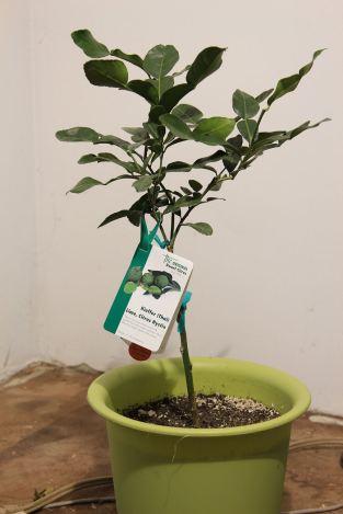1 Little Kieffer Lime Tree © Andor