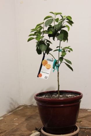 2 Little Valencia Orange Tree © Andor