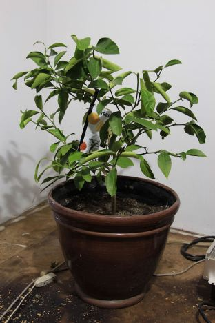 4 Improved Meyer Lemon Tree © Andor