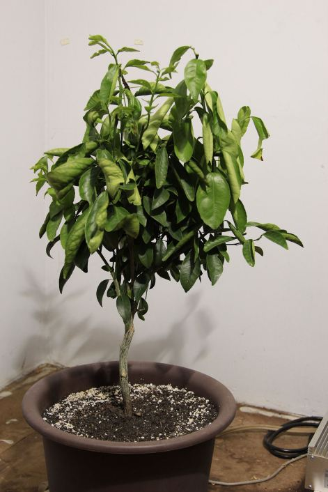 6 Gold Nugget Mandarin Orange Tree 2 © Andor