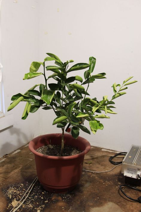 8 Mexican Sweet Lime Tree © Andor