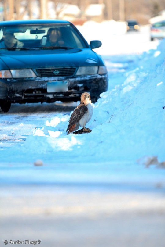 A Hawk Dining in the Road © Andor (2)