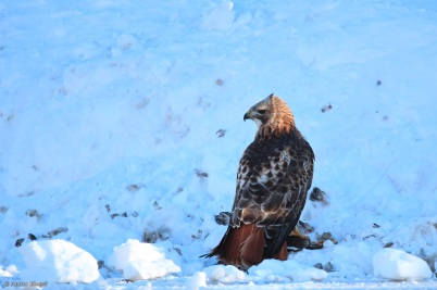 A Hawk Dining in the Road © Andor (3)