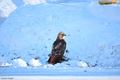 A Hawk Dining in the Road © Andor (4)