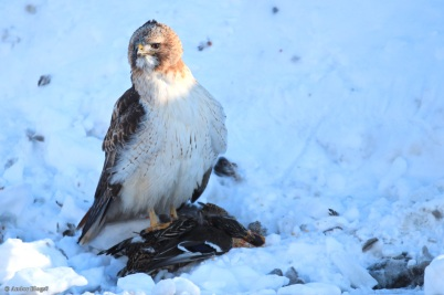 A Hawk Dining in the Road © Andor (6)