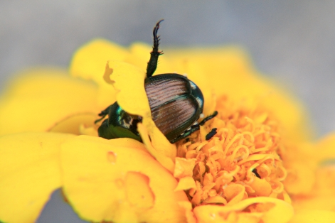 Flower Petal Belt for a Japanese Beetle © Andor