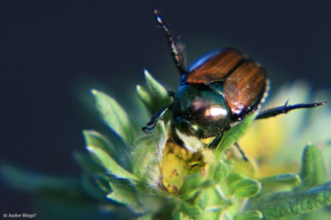 Japanese Beetle, Up Close and Personal © Andor (1)