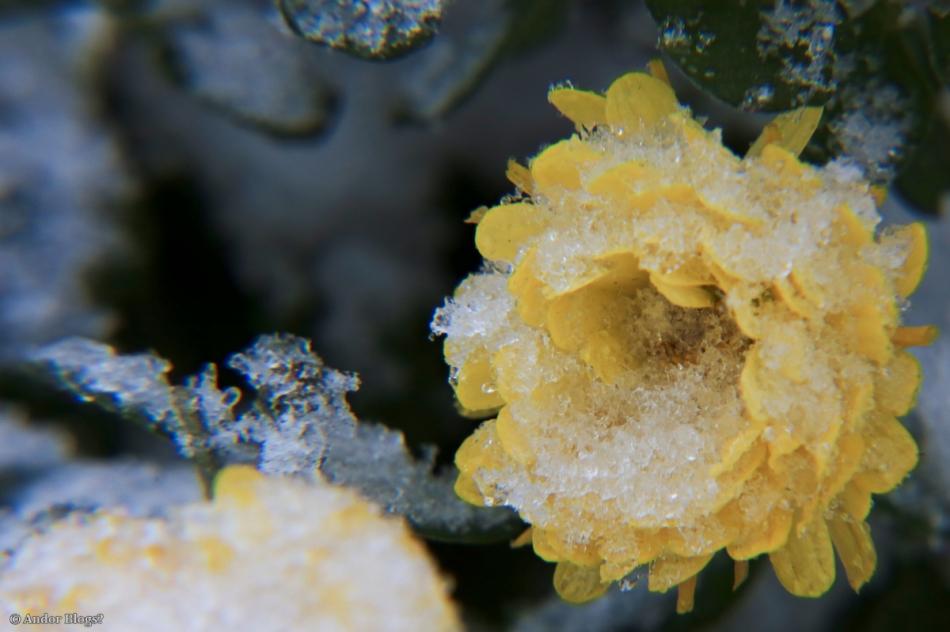 Frozen Flowers © Andor (1)