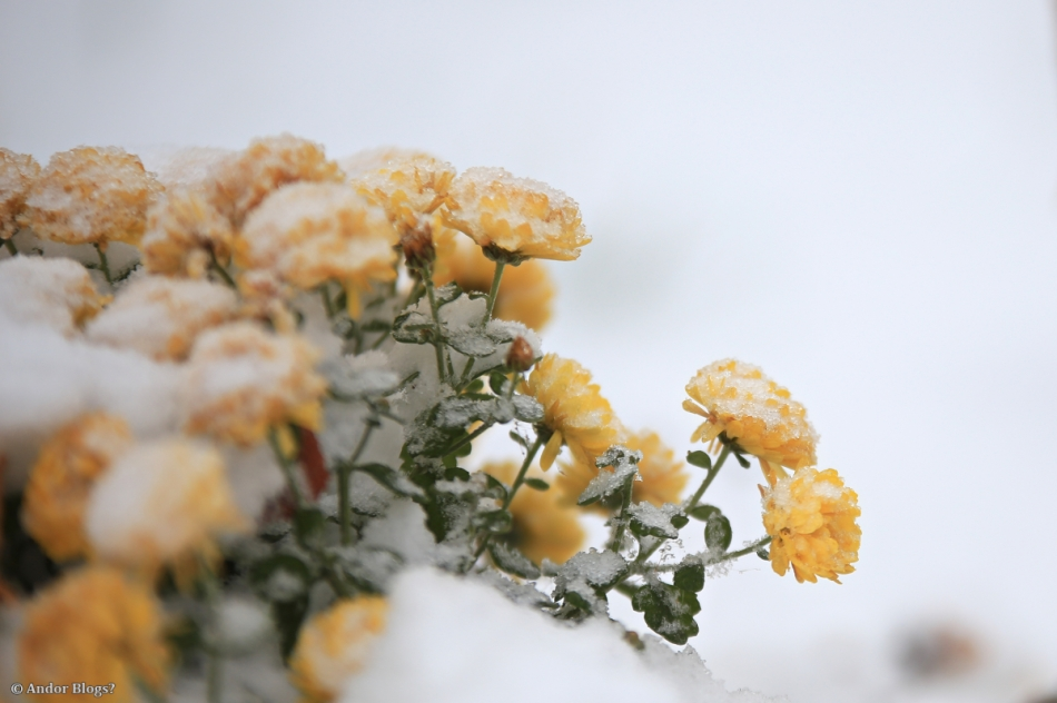 Frozen Flowers © Andor (2)