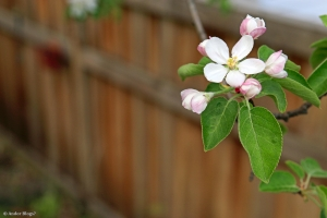 Apple Tree Blossoms © Andor (1)