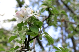 Apple Tree Blossoms © Andor (2)