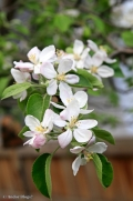 Apple Tree Blossoms © Andor (3)